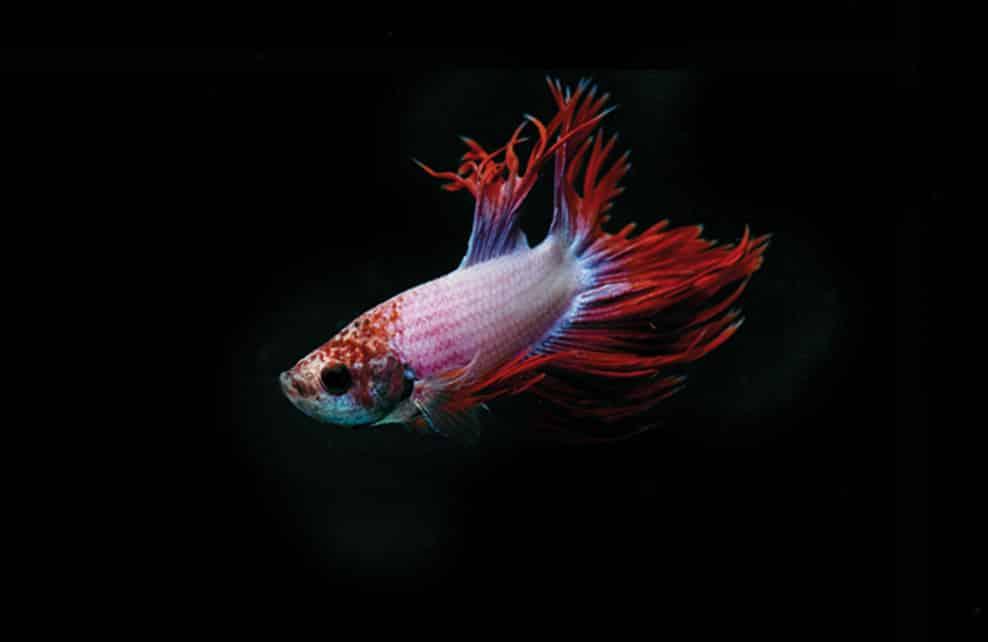 poissoncombattant