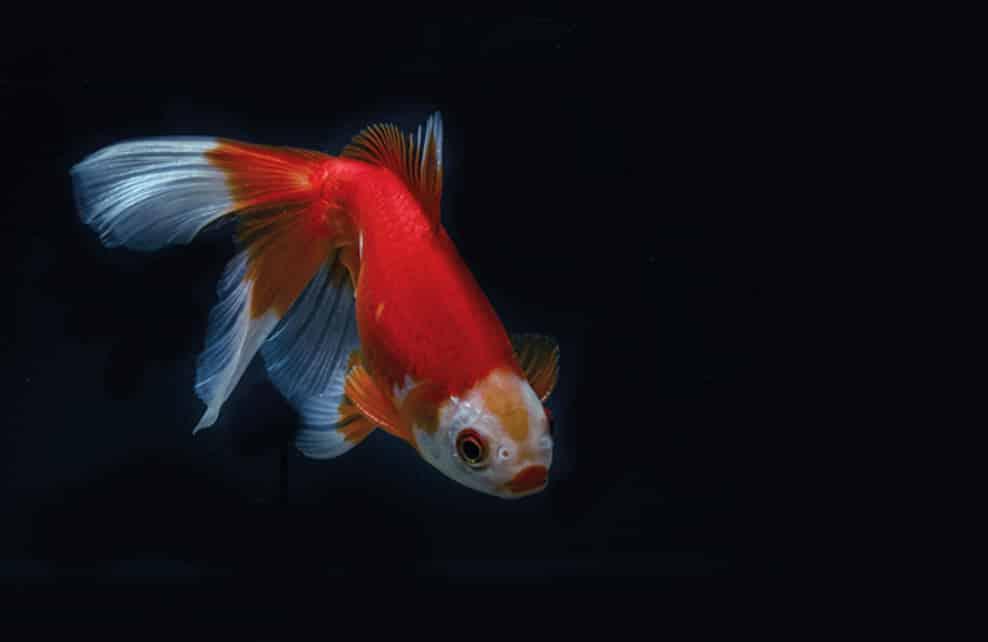 8 id es de poissons pour nos int reieurs depuis mon hamac for Poisson rouge japonais