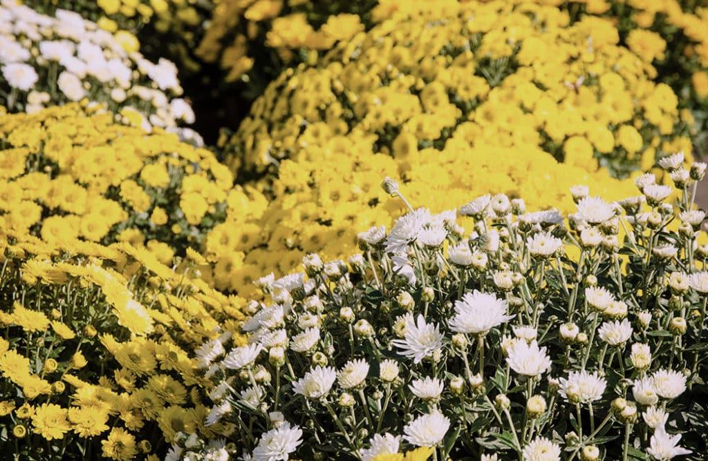 Top 5 des fleurs de la Toussaint !
