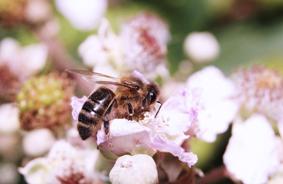 abeilles 2