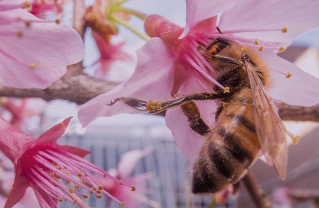 Insolite : des abeilles en zones urbaines