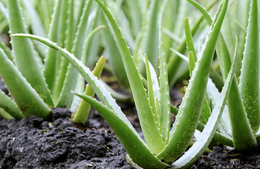 plantation d'aloès