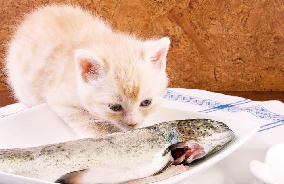 chaton reniflant un poisson dans une assiette