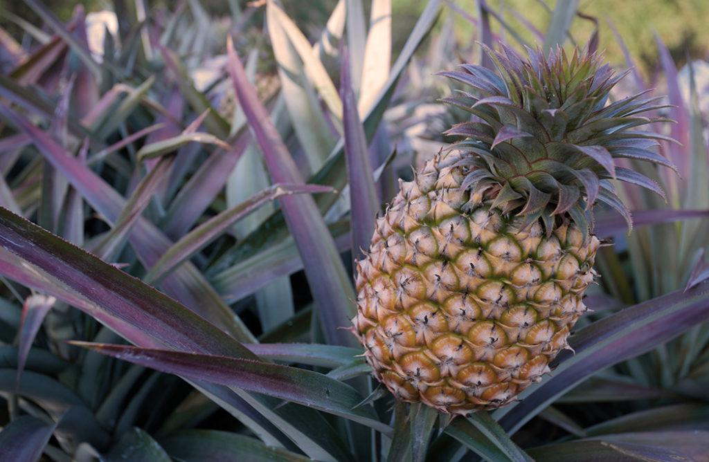 #FOOD : Les bienfaits de l'ananas sur la santé