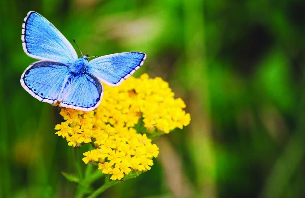 argus bleu posé sur des fleurs jaunes