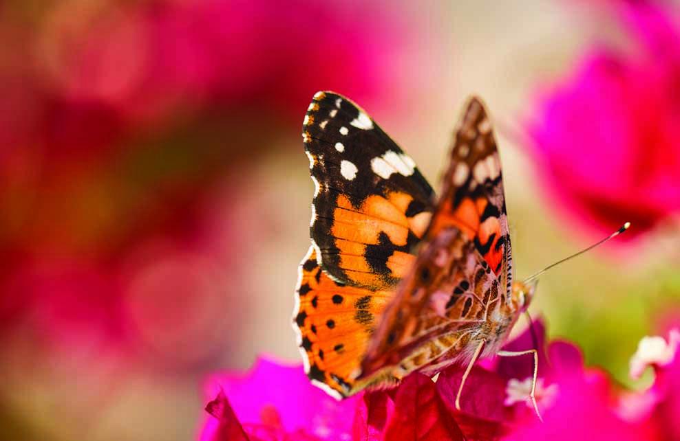 papillon belle-dame posé sur fleur rose
