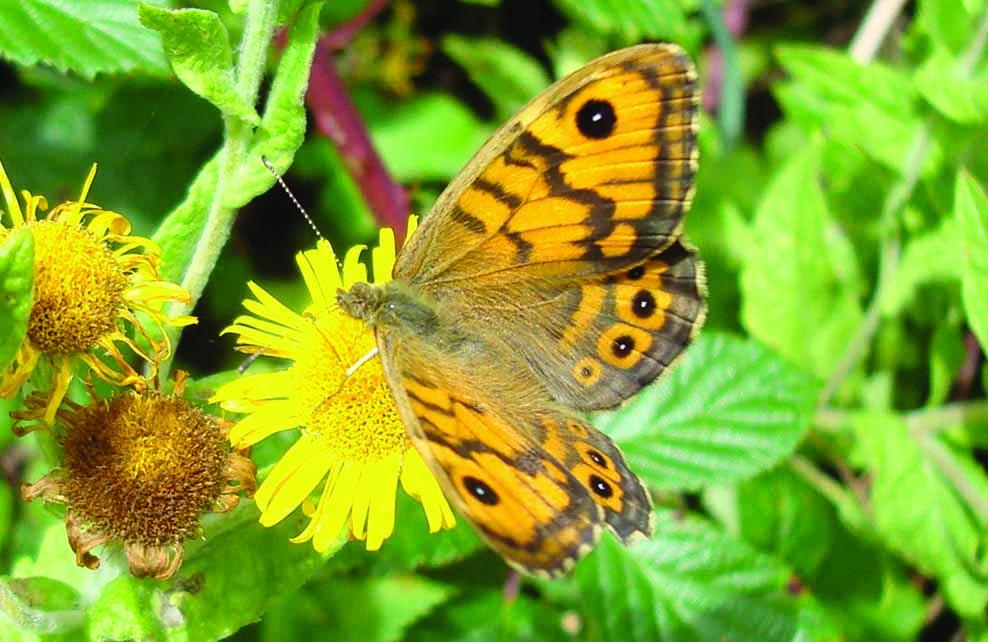 papillon mégère