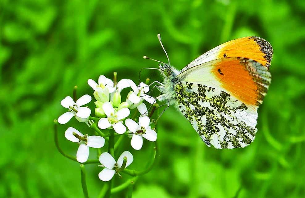 Papillon aurore posé sur une fleur blanche
