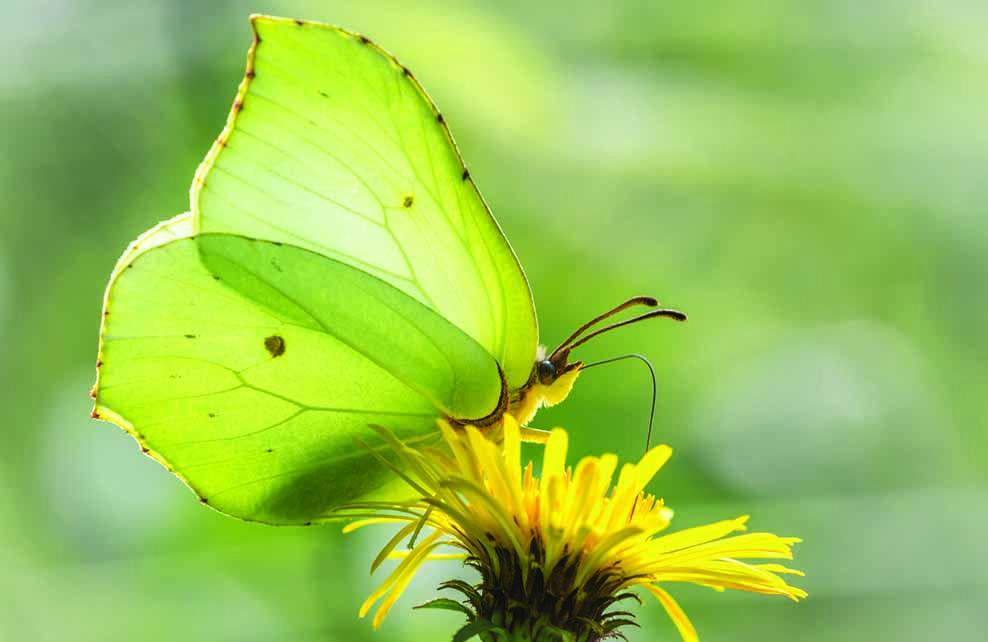 papillon citron posé sur pissenlit