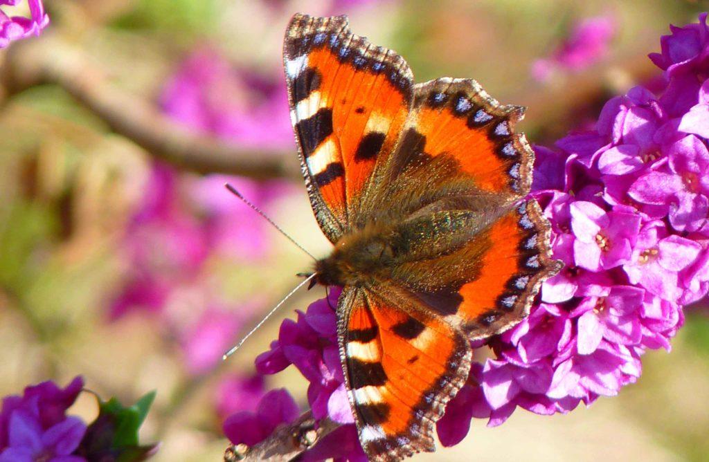 10 beaux papillons à observer dans son jardin au Printemps