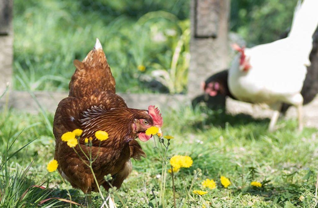 5 bonnes raisons d'avoir une poule dans son jardin
