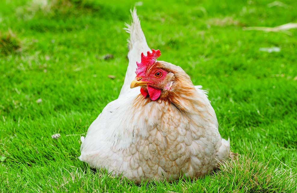 5 bonnes raisons d 39 avoir une poule dans son jardin depuis mon hamac - Avoir des poules dans son jardin ...