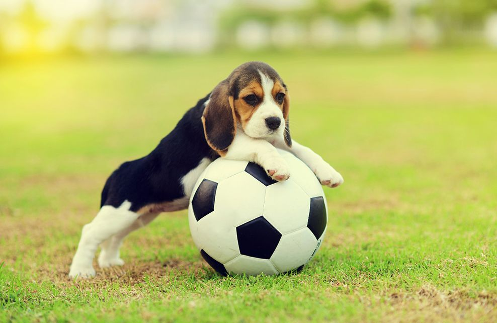 cute beagle avec un ballon de foot