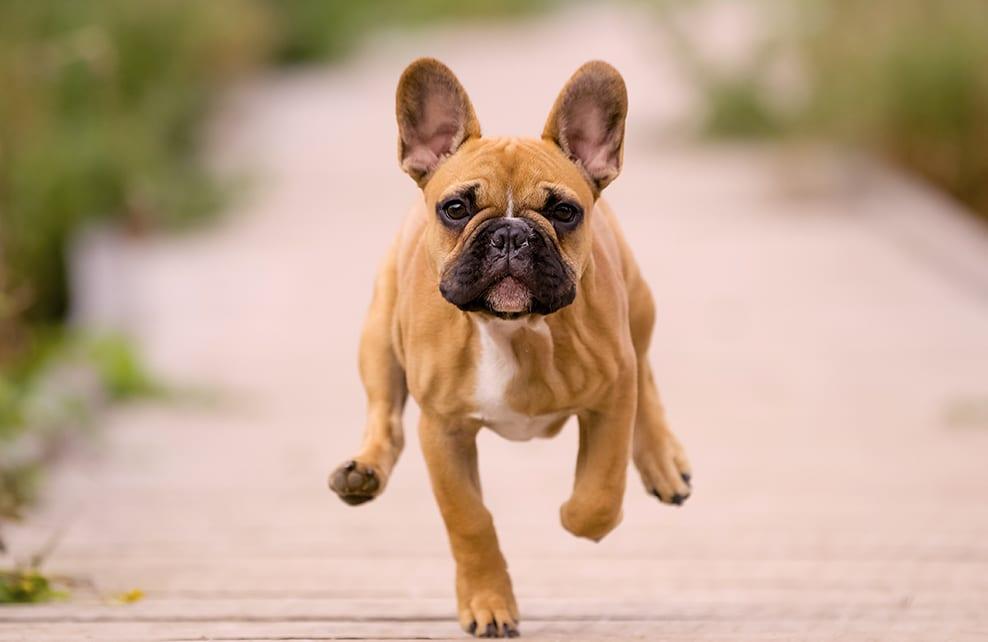 chien bouledogue qui court