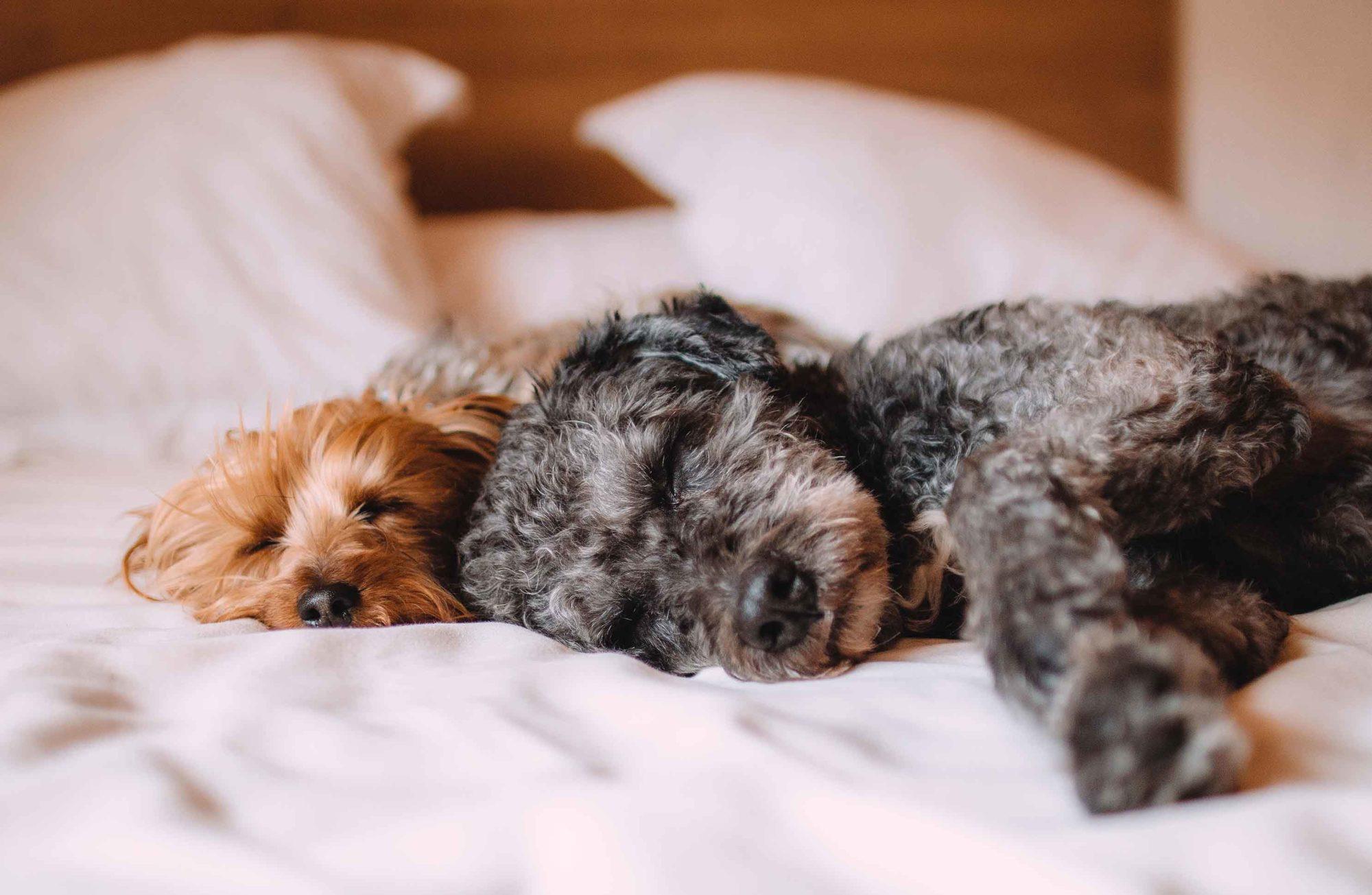 deux chiens endormis sur un lit
