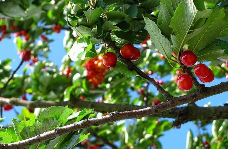 cerises sur arbre