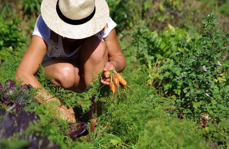 femme accroupie récoltant ses carottes dans son jardin