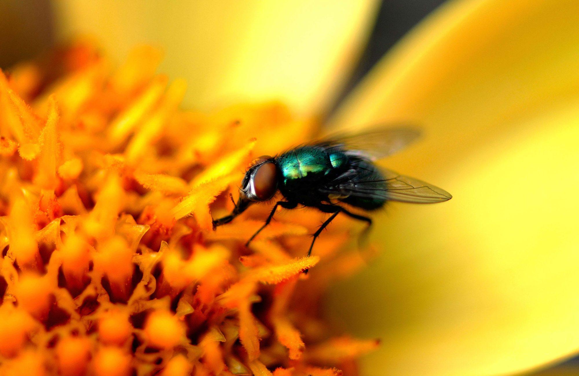 Gros plan mouche sur fleur jaune