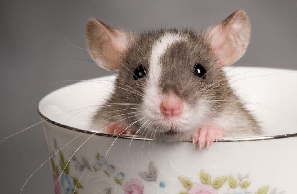 Alerte : ouverture du 1er bar à rats !