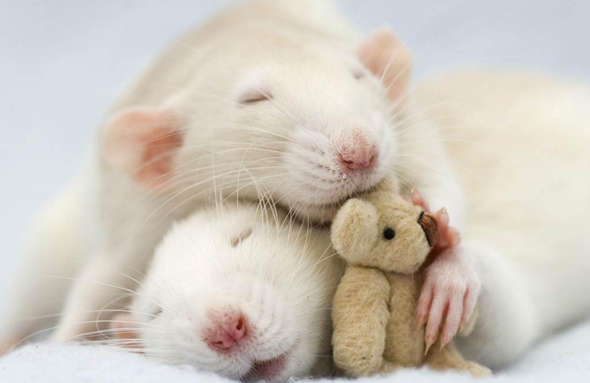 deux rats blancs endormus avec ours en peluche