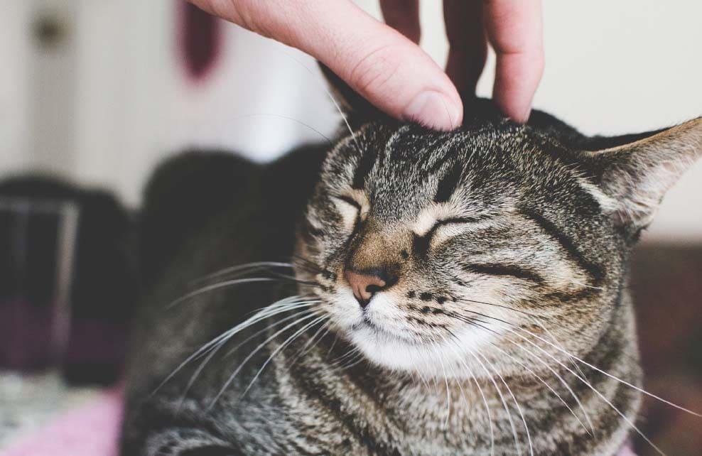 chat qui se fait caresser sur le dessus de la tête