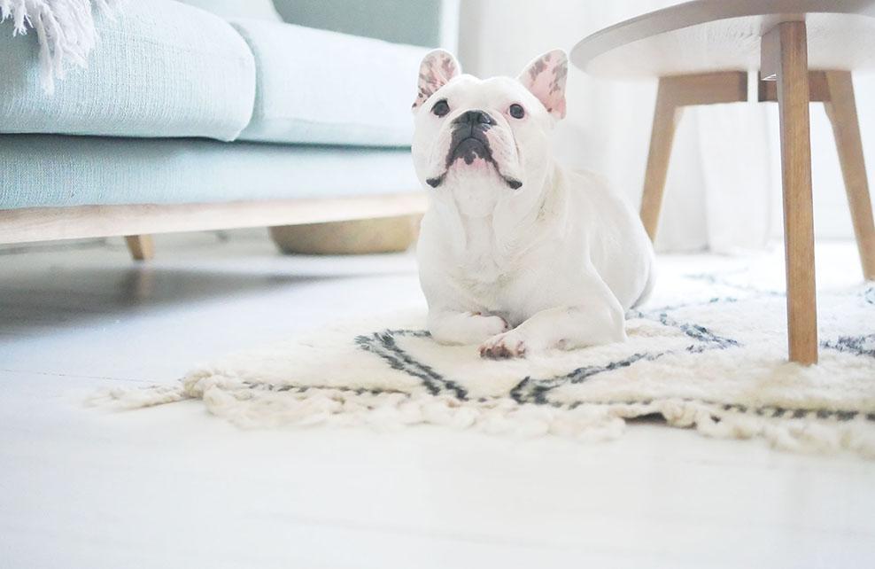 chien léon couché sur tapis ethnique dans salon