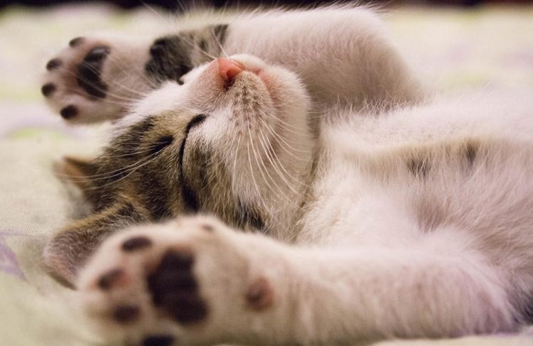 chat allongé sur le dos les pattes en l'air
