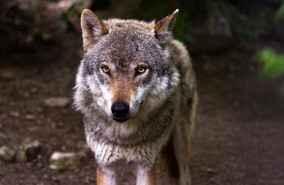un loup de face