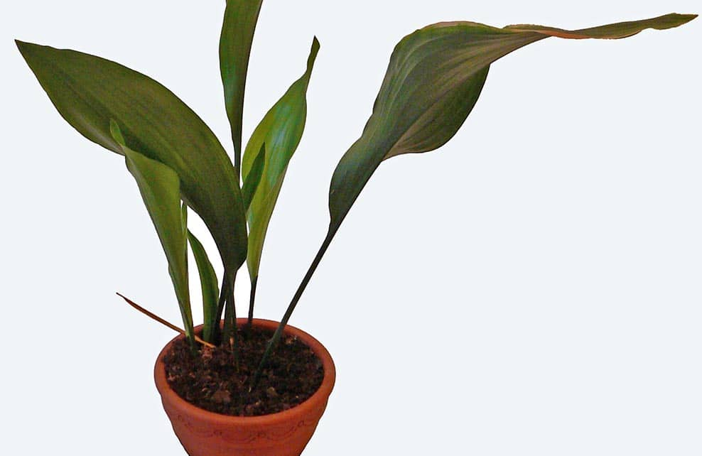 plante aspidistra