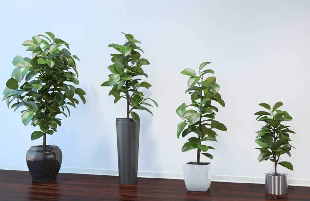 Plantes caoutchouc dans différentes formes de vase