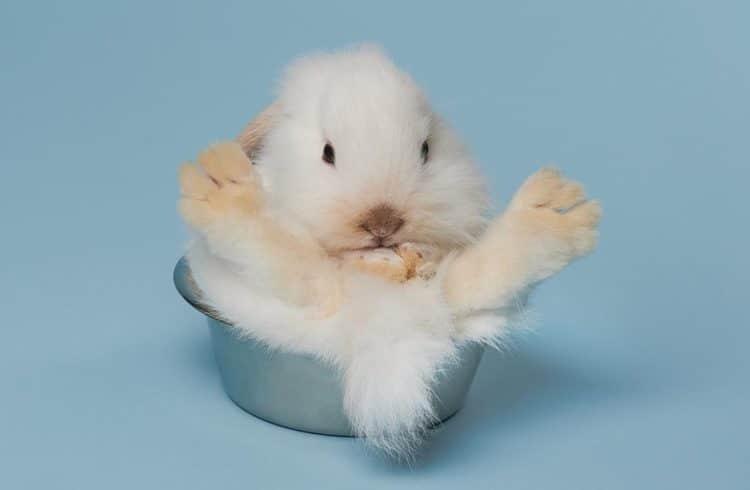 lapin blanc dans pot sur fond bleu