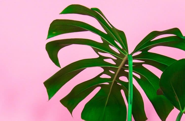 feuille de monstera sur fond rose