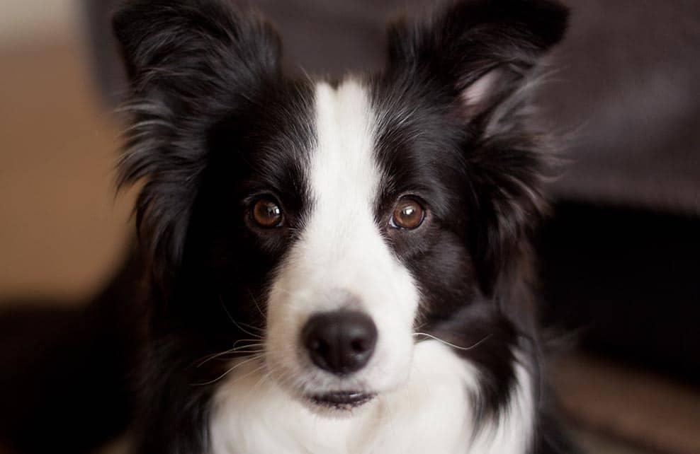 chien de race border collie