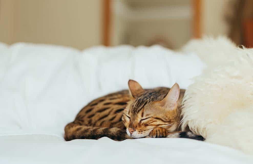 chat au calme roulé en boule sur un lit