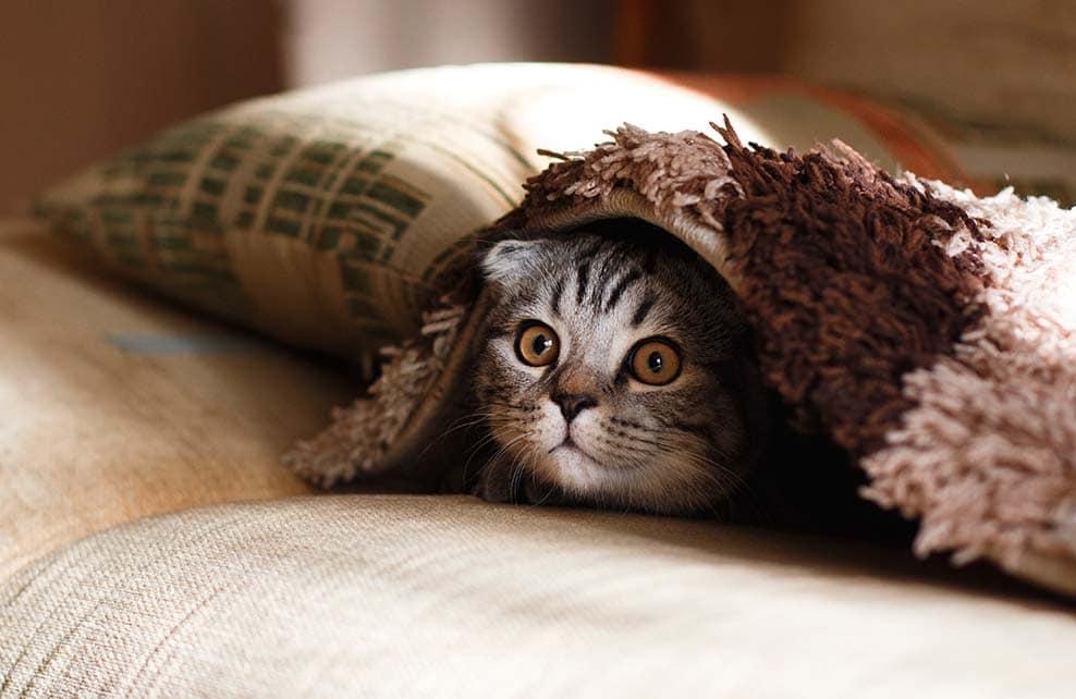 tête d'un chat qui dépasse de sous les couvertures
