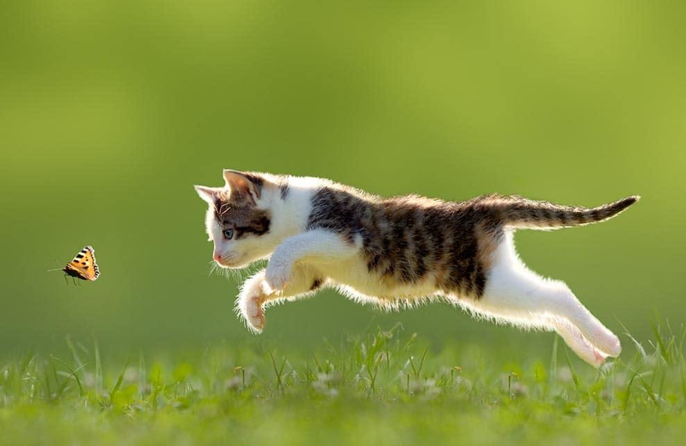 Jeune chat qui chasse un papillon