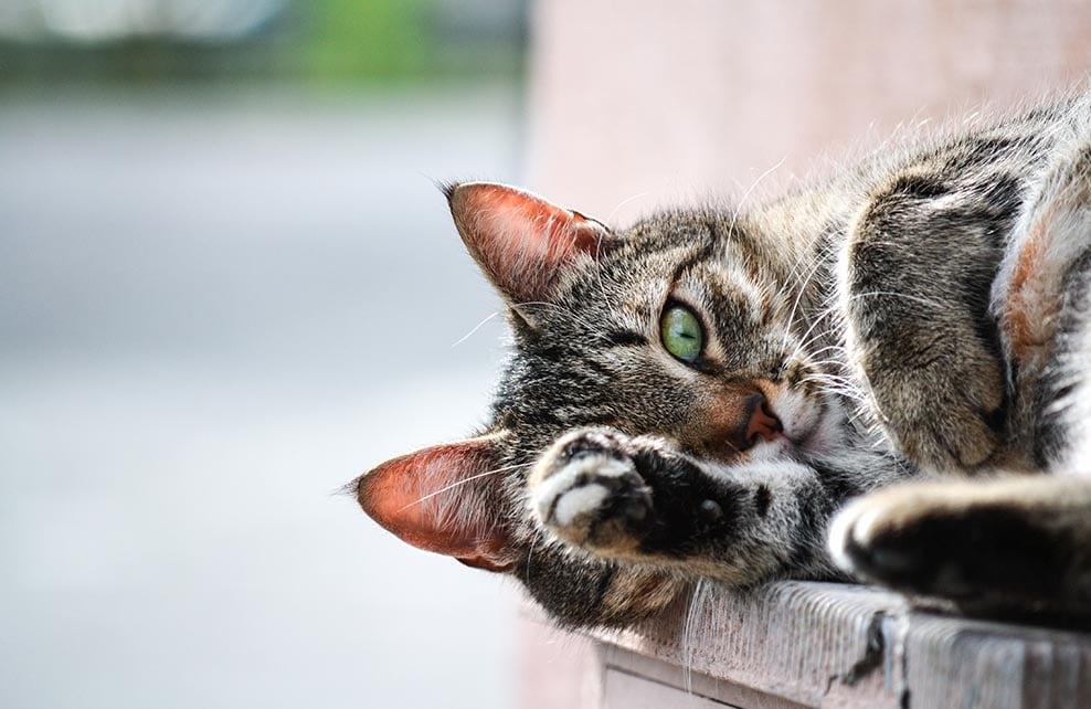 chat allongé avec une patte qui dépasse