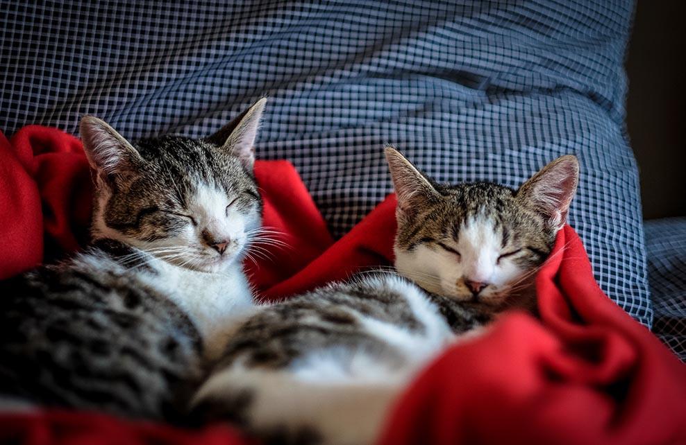 deux chats lovés dans des couvertures
