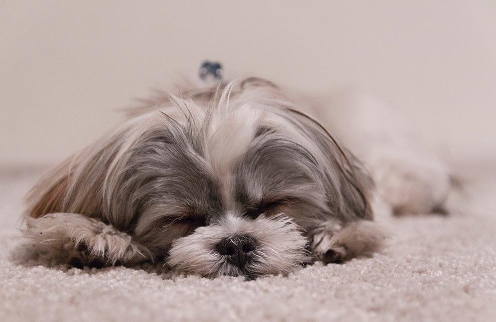 chien profondément endormi