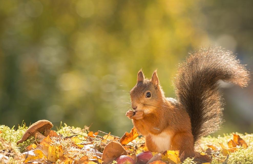Ecureuil au milieu des feuilles d'automne