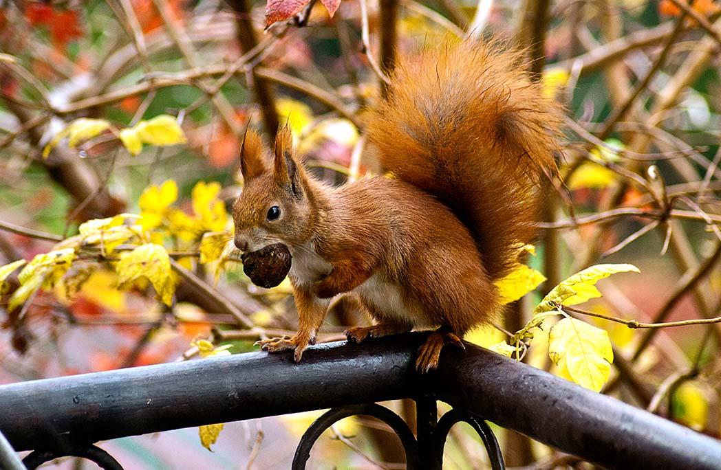 écureuil avec un noid dans la gueule sur une rambarde
