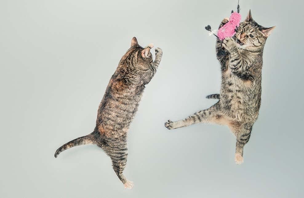 chats qui sautent