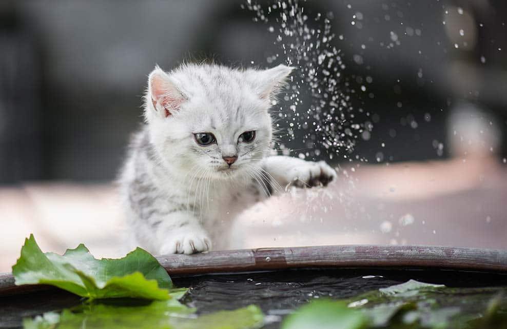 chaton retirant une patte de l'eau