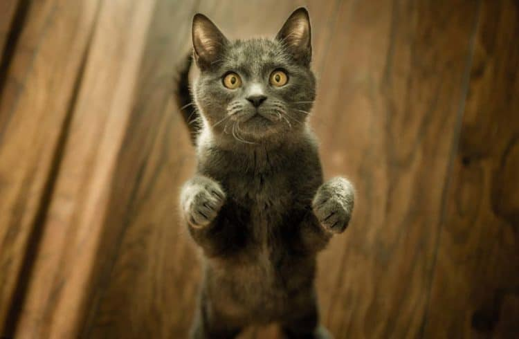 chat gris debout sur ses pattes arrières