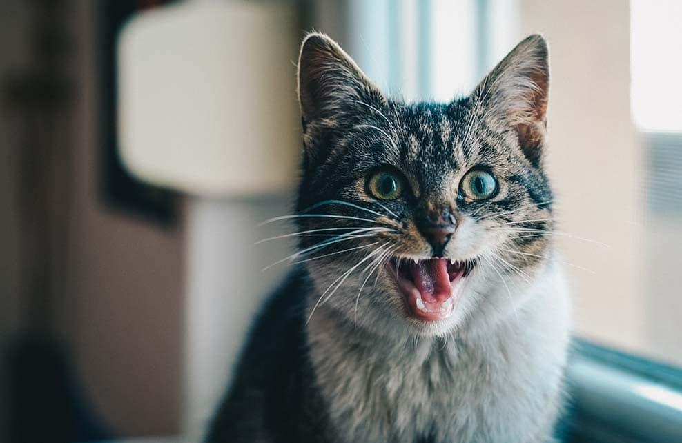 chat tigré avec la gueule ouverte