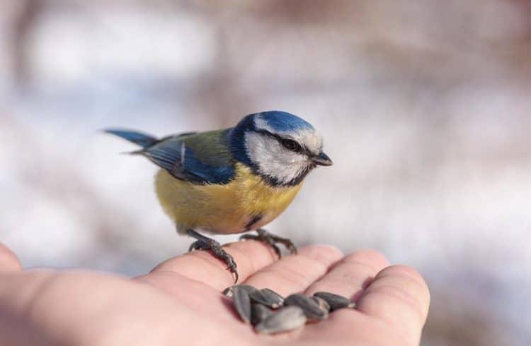 mesange bleue qui picore des graines dans une main