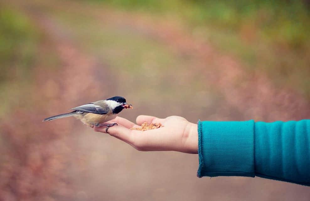 petit oiseau qui mange des graines dans une main tendue