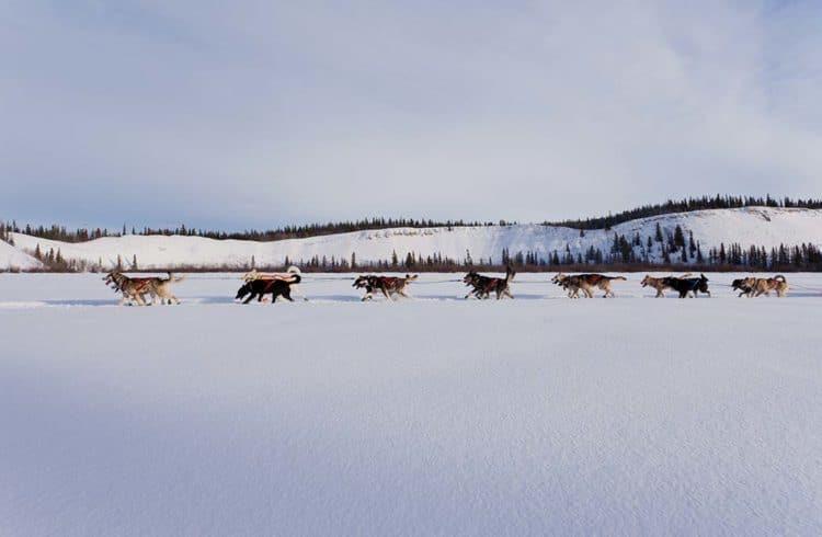 équipage de chiens de traineau marchant dans la neige