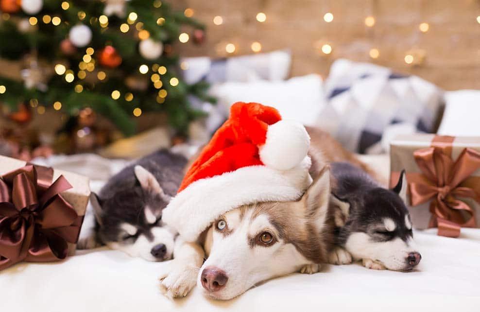 Huskies avec bonnet de père Noël à coté du sapin