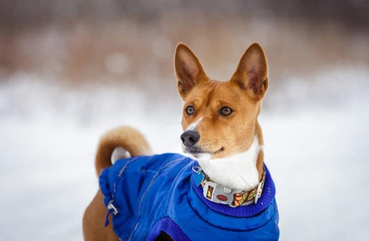 Chien avec son manteau d'hiver
